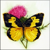 Dogface Butterfly on Thistle    - Tile Mural