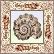 Seashell Square 1 - DF - Accent Tile